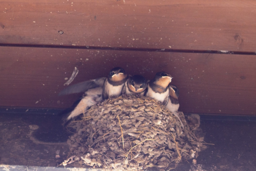 Swallow's nest with chicks